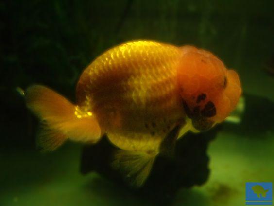 Lionchu bebe seleccionado, alimentado y cuidado para desarrollar un pez hermoso