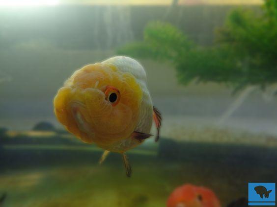 Aprende con cuidados avanzados como hacer grooming de goldfish, aprende a cuidar, alimentar y escoger a esta hermosa variedad