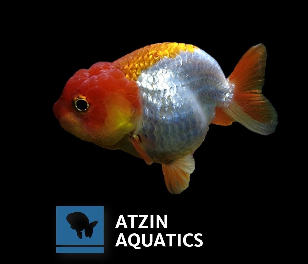 Grooming de Goldfish aplicado en lionchu en Atzin aquatics