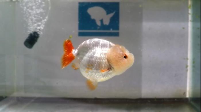 Goldfish lionchu blanco que fue pasado por un plan de grooming