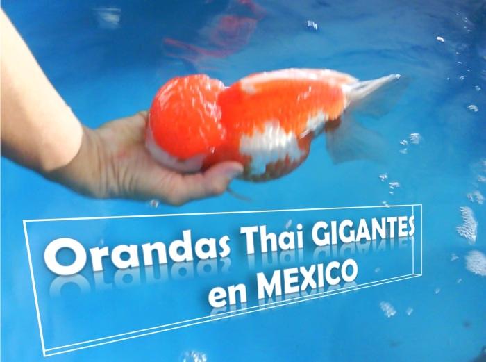 Haremos grooming de goldfish orandas gigantes en méxico, te contamos como escoger, alimentar y comprar este pez