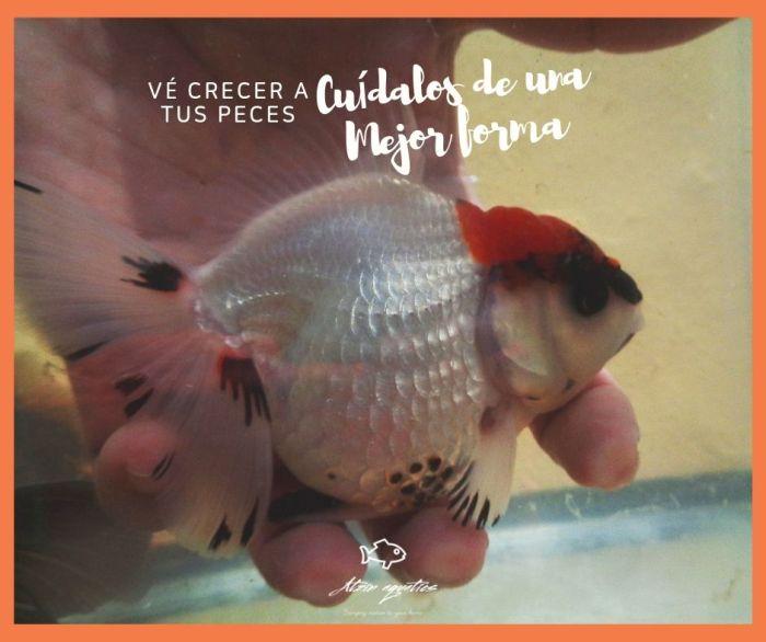 Ofrece un mejor cuidado a tus goldfish por medio del grooming de goldfish
