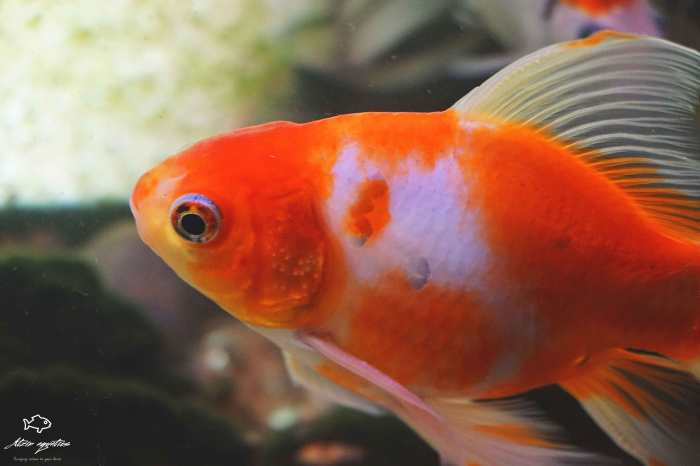goldfish naranja cuidado en mexico