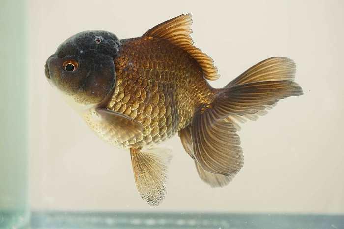 oranda gigante cobre grooming atzin aquatics
