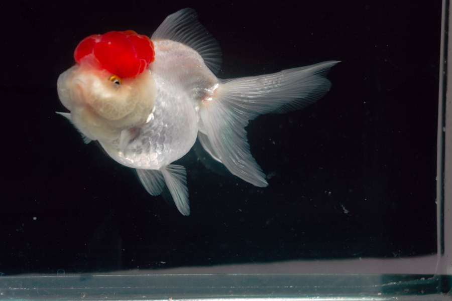 Oranda red cap groomeado en atzin aquatics nadando