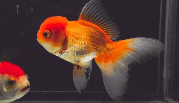 Thai oranda naranja goldfish