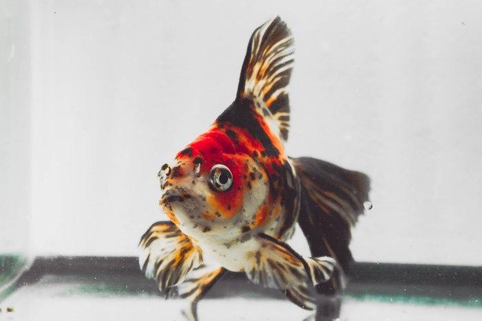 goldfish ryukin calico