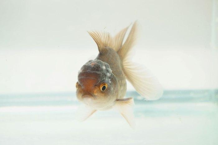 goldfish oranda bebe gigante