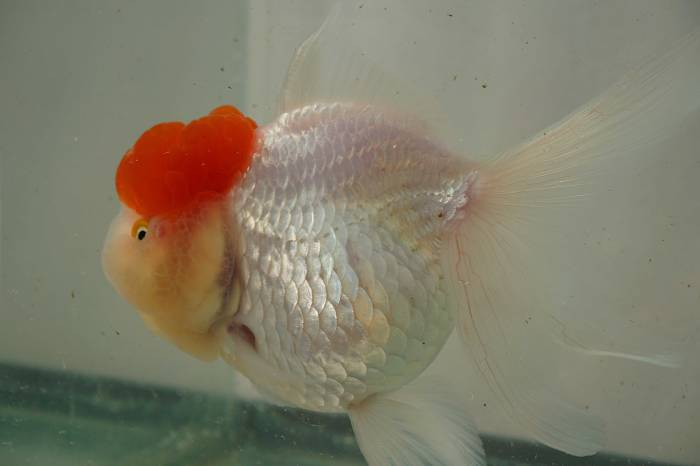 goldfish red cap oranda en mexico