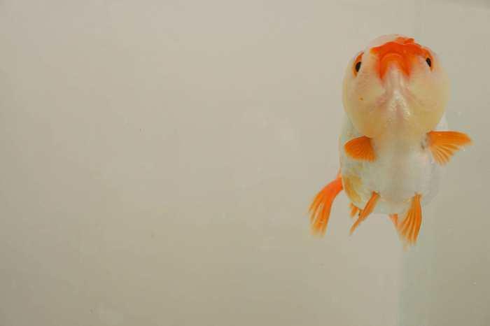 cuidados goldfish ranchu
